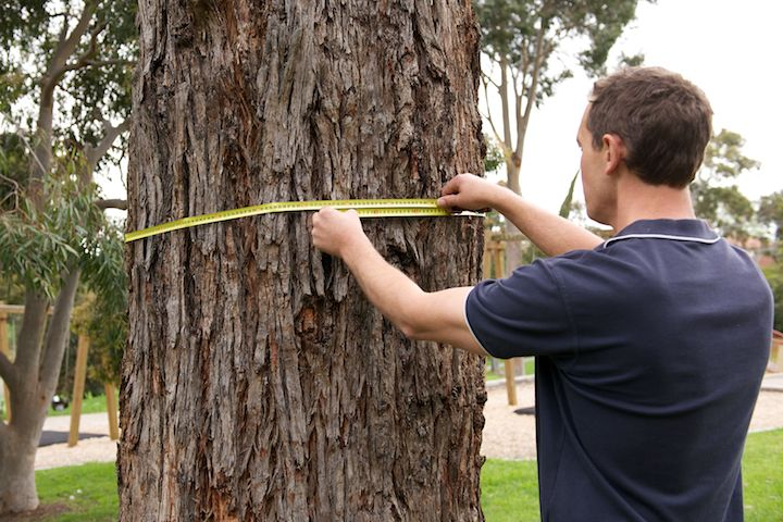 Measure the Tree Circumference for the Possum Guard